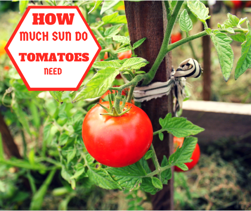How Much Sun Do Tomatoes Need? The Age Old Question - Plant ...