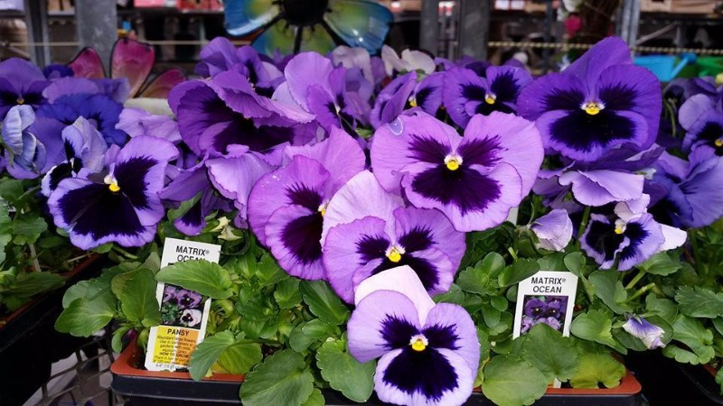 Abbys-Gallery-Pansies