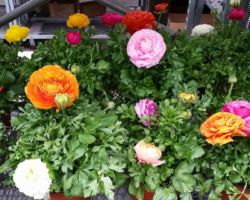 Abby's Parkside Mixed Ranunculus Early Spring Flowers and Plants